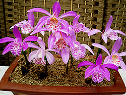 Windowsill Orchid (Pleione formosana) at A Very Successful Garden Center