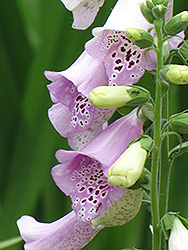 Camelot Lavender Foxglove (Digitalis purpurea 'Camelot Lavender') at The Mustard Seed