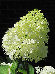 Limelight Hydrangea (Hydrangea paniculata 'Limelight') at The Mustard Seed