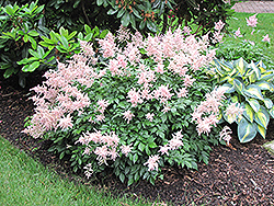 Peach Blossom Astilbe (Astilbe x rosea 'Peach Blossom') at The Mustard Seed