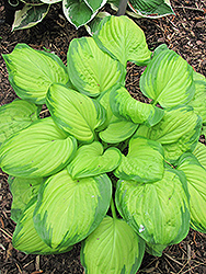 Stained Glass Hosta (Hosta 'Stained Glass') at The Mustard Seed