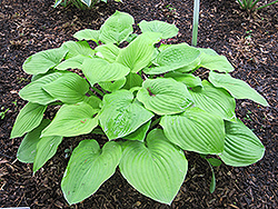 August Moon Hosta (Hosta 'August Moon') at Bachman's Landscaping
