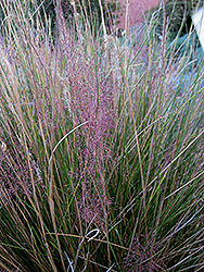 Pink Muhly Grass (Muhlenbergia capillaris 'Pink Muhly') at Bartlett's Farm