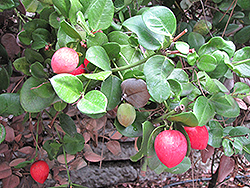 Natal Plum (Carissa macrocarpa) at A Very Successful Garden Center