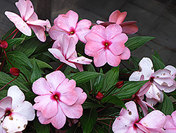 Infinity® Pink New Guinea Impatiens (Impatiens hawkeri 'Infinity Pink') at Bartlett's Farm