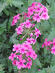 Lanai® Bright Eye Verbena (Verbena 'Lanai Bright Eye') at Flagg's Garden Center