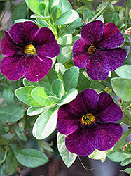 Aloha Midnight Purple Calibrachoa (Calibrachoa 'Aloha Midnight Purple') at The Mustard Seed