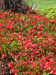 Dragon Wing Red Begonia (Begonia 'Dragon Wing Red') at Bachman's Landscaping