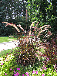 Purple Fountain Grass (Pennisetum setaceum 'Rubrum') at The Mustard Seed