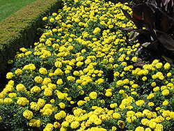 Inca Yellow Marigold (Tagetes erecta 'Inca Yellow') at Flagg's Garden Center