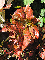 Bronze Pink Copper Plant (Acalypha wilkesiana 'Bronze Pink') at Flagg's Garden Center