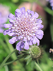 Butterfly Blue Pincushion Flower (Scabiosa 'Butterfly Blue') at The Mustard Seed