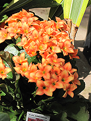 Kalanchoe (Kalanchoe blossfeldiana) at Flagg's Garden Center