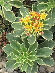 Variegated Russian Stonecrop (Sedum kamtschaticum 'Variegatum') at The Mustard Seed