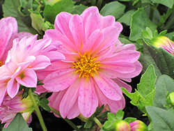 Dahlietta® Lisa Pink Dahlia (Dahlia 'Dahlietta Lisa Pink') at A Very Successful Garden Center