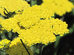 Moonshine Yarrow (Achillea 'Moonshine') at The Mustard Seed