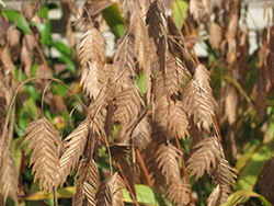 Northern Sea Oats (Chasmanthium latifolium) at Bartlett's Farm
