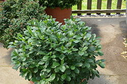 Low Scape® Mound Aronia (Aronia melanocarpa 'UCONNAM165') at Dundee Nursery
