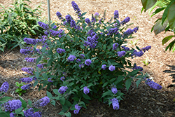 Lo And Behold® Blue Chip Dwarf Butterfly Bush (Buddleia 'Lo And Behold Blue Chip') at Bartlett's Farm