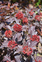 Ginger Wine™ Ninebark (Physocarpus opulifolius 'SMNPOBLR') at Arrowhead Nurseries Ltd.