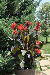 Toucan® Scarlet Canna (Canna 'Toucan Scarlet') at Bartlett's Farm