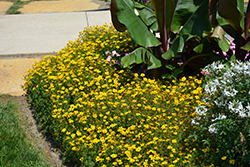 Goldilocks Rocks Bidens (Bidens ferulifolia 'Goldilocks Rocks') at Bartlett's Farm