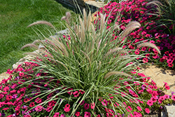 Sky Rocket Fountain Grass (Pennisetum setaceum 'Sky Rocket') at Bartlett's Farm