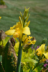 Toucan® Yellow Canna (Canna 'Toucan Yellow') at Bartlett's Farm