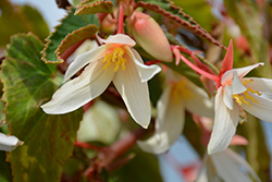 Bossa Nova® Pure White Begonia (Begonia boliviensis 'Bossa Nova Pure White') at Flagg's Garden Center