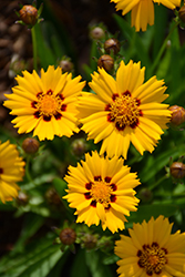 Sunfire Tickseed (Coreopsis grandiflora 'Sunfire') at Arrowhead Nurseries Ltd.