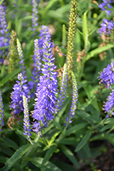 Moody Blues® Dark Blue Speedwell (Veronica 'Novaverblu') at Bachman's Landscaping