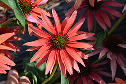 Hot Summer Coneflower (Echinacea 'Hot Summer') at The Mustard Seed