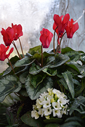 Metis Scarlet Red Silverleaf Cyclamen (Cyclamen 'Metis Scarlet Red Silverleaf') at Flagg's Garden Center