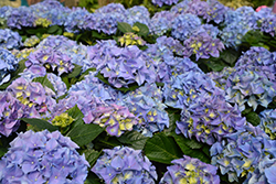 Early Blue Hydrangea (Hydrangea macrophylla 'Early Blue') at Bartlett's Farm