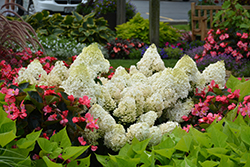 Little Lime® Hydrangea (Hydrangea paniculata 'Jane') at The Mustard Seed