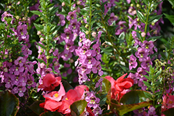 Angelface® Super Pink Angelonia (Angelonia angustifolia 'Angelface Super Pink') at Bartlett's Farm