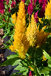 Century Gold Celosia (Celosia 'Century Gold') at Flagg's Garden Center