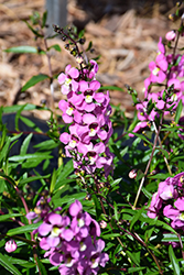 AngelMist® Spreading Pink Angelonia (Angelonia angustifolia 'AngelMist Spreading Pink') at Flagg's Garden Center