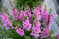 Archangel™ Pink Angelonia (Angelonia angustifolia 'Archangel Pink') at Bachman's Landscaping