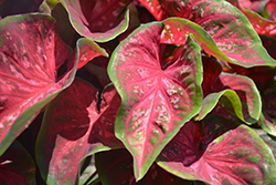 Scarlet Flame Caladium (Caladium 'Scarlet Flame') at Flagg's Garden Center