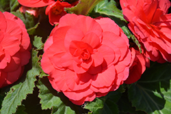 Nonstop® Deep Rose Begonia (Begonia 'Nonstop Deep Rose') at Bartlett's Farm