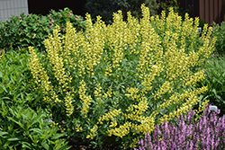 American Goldfinch False Indigo (Baptisia 'American Goldfinch') at Bachman's Landscaping