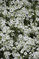 Yo Yo Snow-In-Summer (Cerastium tomentosum 'Yo Yo') at The Mustard Seed