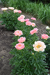 Coral Sunset Peony (Paeonia 'Coral Sunset') at The Mustard Seed
