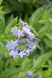 Blue Ice Star Flower (Amsonia tabernaemontana 'Blue Ice') at The Mustard Seed