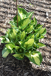 Whirlwind Hosta (Hosta 'Whirlwind') at The Mustard Seed