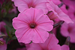 Supertunia Vista® Bubblegum Petunia (Petunia 'Supertunia Vista Bubblegum') at The Mustard Seed