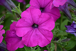 Easy Wave® Violet Petunia (Petunia 'Easy Wave Violet') at The Mustard Seed