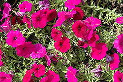 Espresso® Ruby Petunia (Petunia 'Espresso Ruby') at Flagg's Garden Center