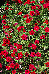 MiniFamous® Double Red Calibrachoa (Calibrachoa 'MiniFamous Double Red') at The Mustard Seed